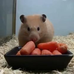 un hamster mange des carottes