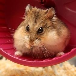 roue hamster produire energie