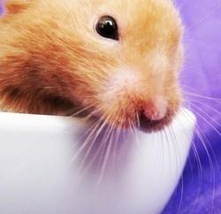 vidéo hamster sur un petit train