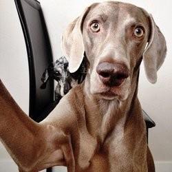 harlow braque de weimar chien star