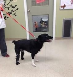 chien prothèses