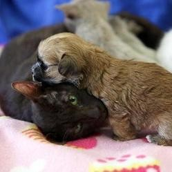 une maman chat adopte un chiot oprhelin