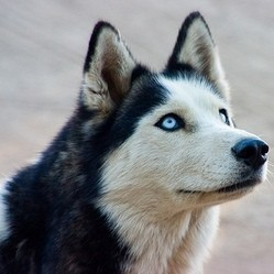 husky, chien primitif