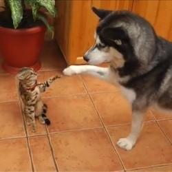 Un husky et un chat