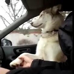 husky chien donne patte voiture