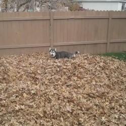 Un Husky joue dans les feuilles mortes