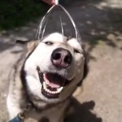 chien husky massage