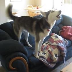 Husky devant la télé