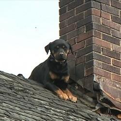 chien bloqué sur le toit d'une maison