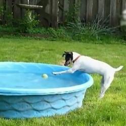 un chien tente de r cup rer sa balle dans une piscine sans se mouiller vid o du jour web. Black Bedroom Furniture Sets. Home Design Ideas