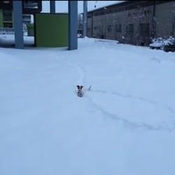 un jack russell dans la neige
