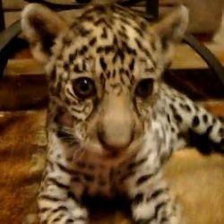 video jeune jaguar