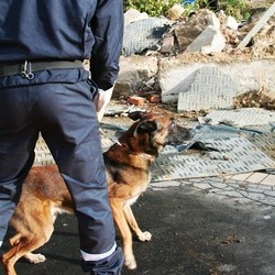 tsunami japon chiens sauveteurs