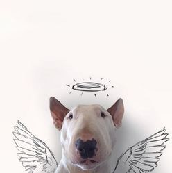bull terrier, jimmy choo
