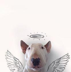 bull terrier, jimmy choo