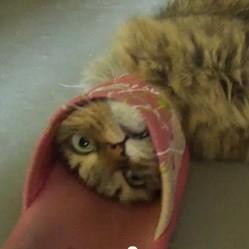 video de chat jouet pantoufle