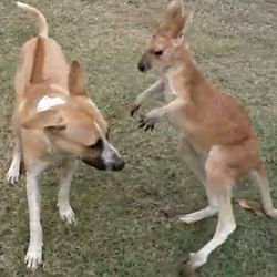 Chien et kangourou