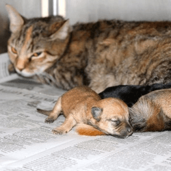 une chatte adopte des chiots orphelins