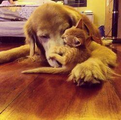 chaton orphelin adopté par un golden retriever