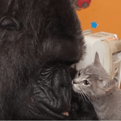 koko gorille chatons