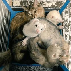 chaton furets