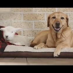 un Labrador adopte un agneau