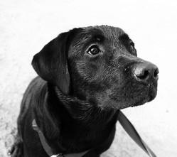 chien militaire labrador retrouvé