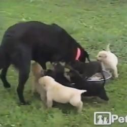 une maman labrador et ses chiots