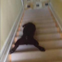Chiot qui descend les escaliers