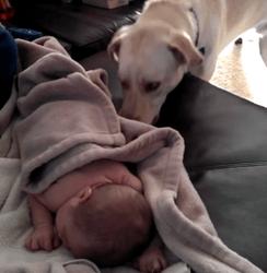 Labrador et bébé