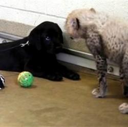 Un chiot labrador et un bébé guépard