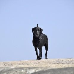 un chien labrador parcout 800 kilomètres pour retrouver son maître