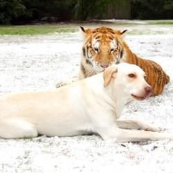 Un labrador joue avec des tigres