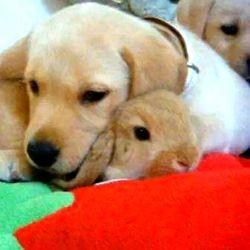 chiots labrador et lapin