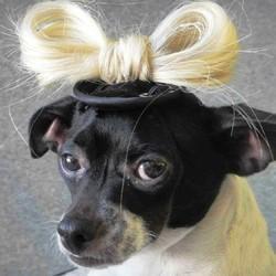 lady gaga vetements pour chien