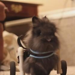 Ce lapin amputé des pattes arrières se déplace avec un petit chariot à roulettes