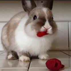 un lapin mange des framboises