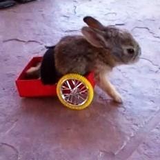 lapin handiucapé vidéo chariot