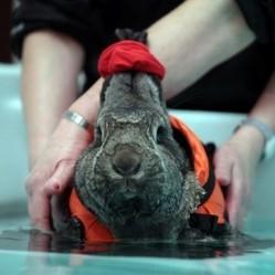 Un lapin s'essaie à l'hydropthérapie