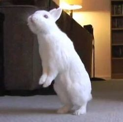 lapin marche deux pattes