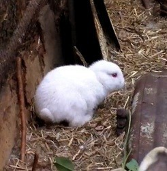 video lapin né sans oreille Fukushima