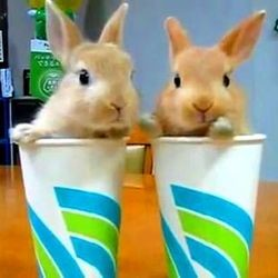 video lapins verres rabbit