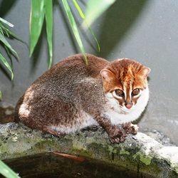 le chat a tete plate menacé dextinction