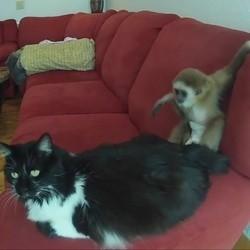 un chat et un gibbon