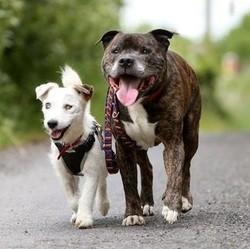 Le jack aveugle et son chien guide