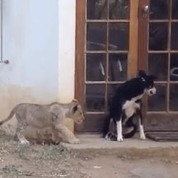 Lionceau effrayant un chien