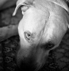 permis loi chiens dangereux