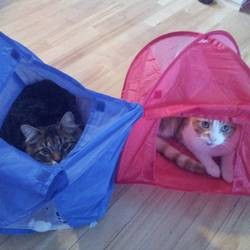 Ce chat ne sait pas comment utiliser sa tente