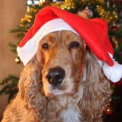 chien déguisement bonnet noël