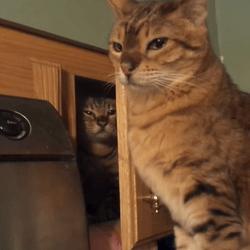 chat attaque surprise